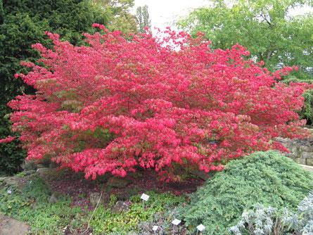 Der Korkspindelstrauch (Euonymus alatus) im Herbst