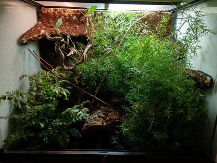 Brookesia stumpfii Terrarium
