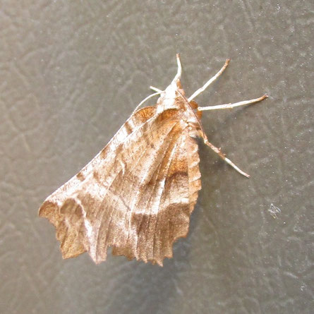 A thorn moth – but which one??