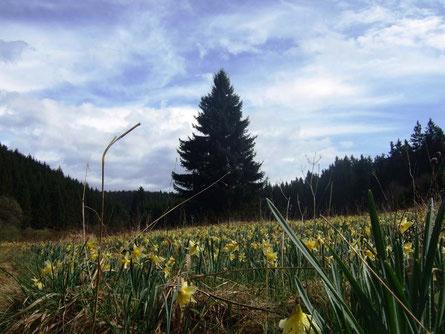 Die gelb leuchtenden Narzissen kündigen den Frühling an (Foto: Vera Gossmann)