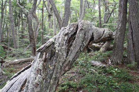 Ein kleines bisschen verdreht dieser Baum...