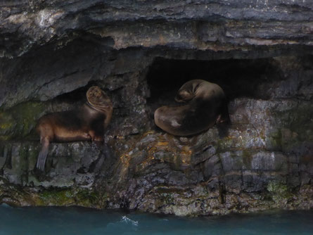 Seelöwen, Ausflug Puerto Natales