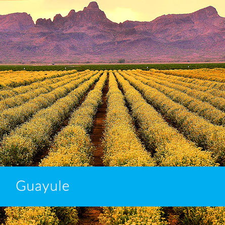 Champs de guayule en Arizona