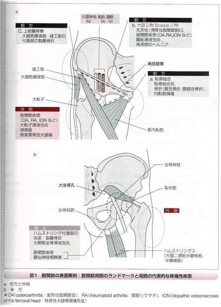股関節の表面解剖