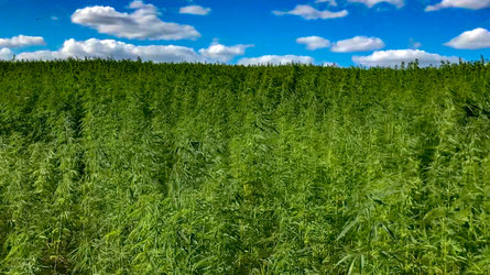 42 hectares of totally legal cannabis in Uckermark/Germany