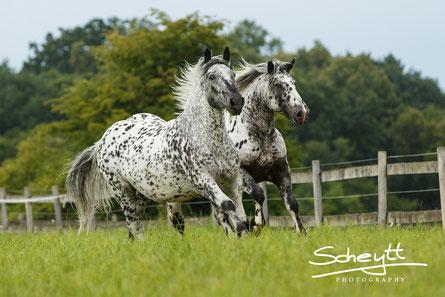 Pferdefotografie: Criollo Mescalero ganz entspannt beim Shooting! Und diese Kulisse gibt es in Bayern!