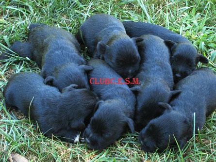 cachorros schnauzer miniatura negros