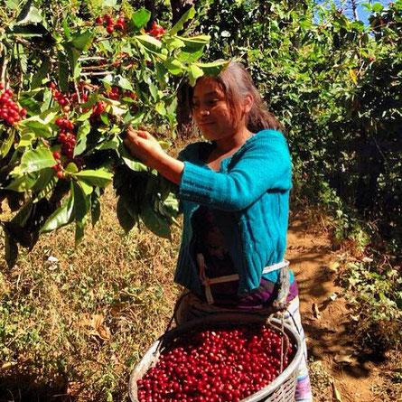 Pflückerin auf Monte de Oro in Guatemala