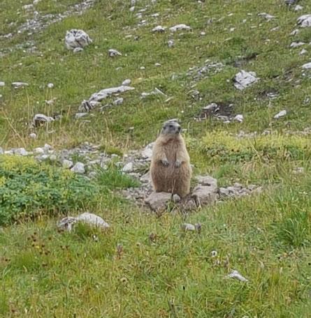 Das gemeine Alpenmurmeltier, ein knuffiger Weggefährte!