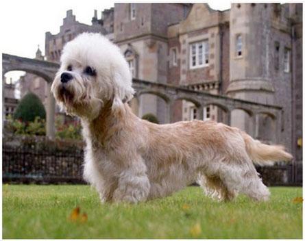 Ejemplar canino de Dandie Dinmont