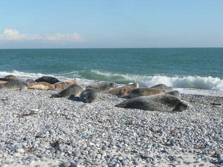 Kegelrobben und Seehunde am Nordstrand der Düne Helgoland's