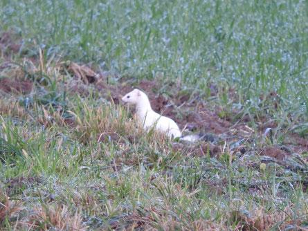 Hermelin im Winterkleid auf Mausjagd im Schlattfeld