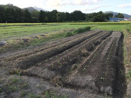 河谷久保・下段の畑は「はなっこりー」でほぼ埋まりました。