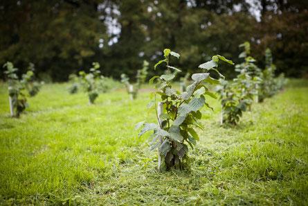 Empfehlenswert sind auch regelmäßige Rundgänge auf der Trüffelplantage um die Wirtsbäume auf Krankheiten und mögliche Schäden durch Trüffelschädlinge zu überprüfen.