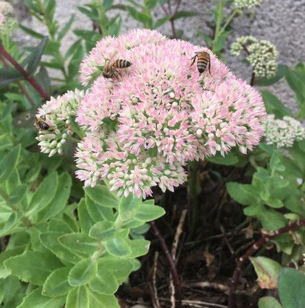 ClicandNectar Miel d'apiculteur Sedum
