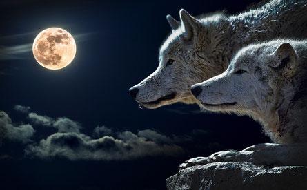 Deux loups scrutent la pleine Lune qui applaraît dans la photo comme une boule claire au milieu des nuages