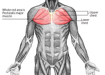 anatomie spieren borst