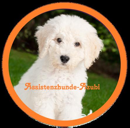 Assistenzhunde - Azubi- Die Assistenzhundeausbildung durch Assistenzhundetrainer wird in Deutschland nicht gefördert. Kaufen das heisst die Kosten der Anschaffung und Ausbildung muss jeder selber tragen. Anders  in der Schweiz und in Östserreich.