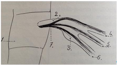 Fig. 3 — Le ganglion de Gasser et le trajet des différents contingents selon Guillaume [17]