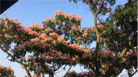 Sotto al titolo una fotografia di una pianta di acacia di costantinopoli in piena fioritura (Albizia julibrissin), detto anche albero della seta.