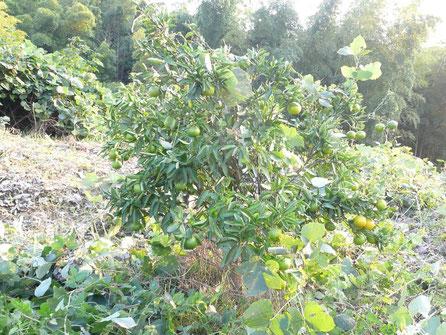 ツタを取り除いた果樹