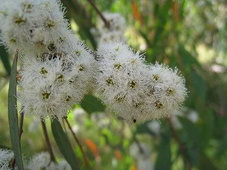 Eucalyptus radiata - Myrtacée - Australie - Photo © John Tann via Flickr