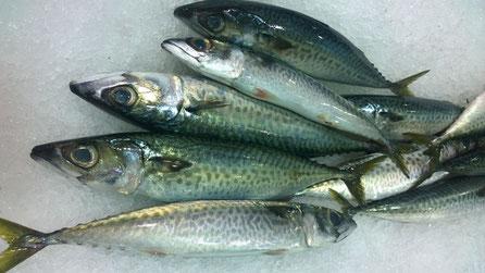Makrele,Cavala,Mackerel,Fisch,Peixe,Fish,Martins-Kulinarium,Algarve,Portugal