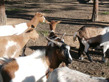 Zieglein,Cabrito,Goat,der Algarve Küste,Portugal