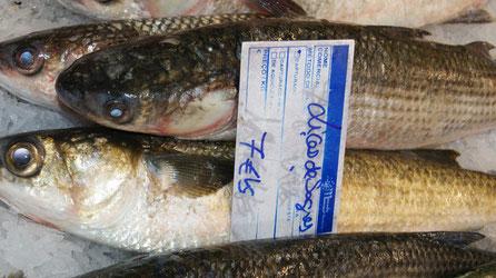 Meeräschen,Tainha,Mullet,Fisch,Peixe,Fish,Martins-Kulinarium,von der Algarve Küste,auf dem Fischmarkt von Olhão,Loulé,Portimaõ,Sagres und Lagos in Portugal