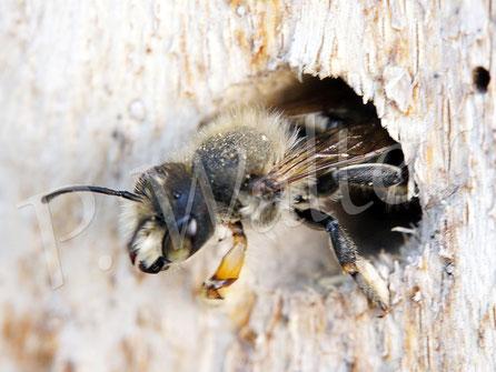09.07.2016 : Wildbiene, keiner Ahnung welcher Art, die scheinbar in dem Bohrloch übernachtet hat. Leider ist kein komplettes Foto vorhanden.
