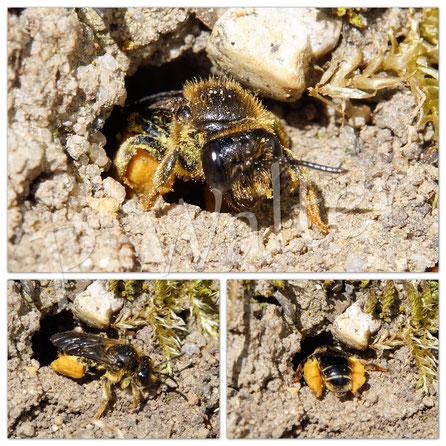 18.06.2017 : kleine Wildbiene an ihrem Erdloch, vollgepackt mit Pollen
