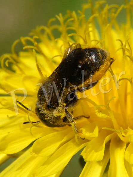 26.05.2017 : Wildbiene am Löwenzahn, hier wird der Pollen zur Bauchbürste gebracht ...