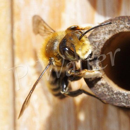 Bild: männliche Blattschneiderbiene, Megachile spec., im Bambusstengel übernachten