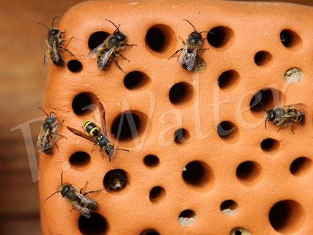 Bild: Niststein, Ton, Rostrote Mauerbiene, Osmia bicornis, Männchen, Lehmwespe, Milbenbefall