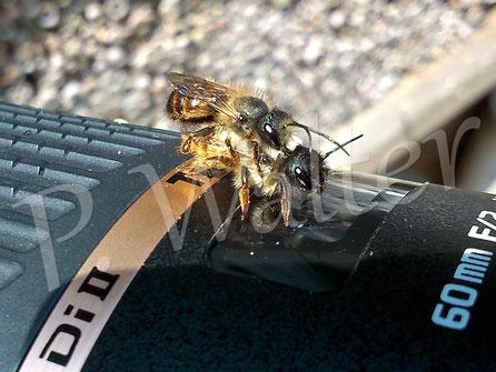 Bild: Rostrote Mauerbienen, Osmia bicornis, Paarung auf Objektiv