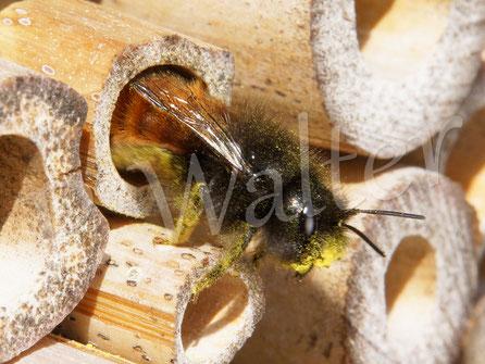 Bild: Weibchen der Gehörnten Mauerbiene, Osmia cornuta