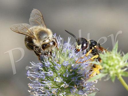 20.08.2016 : Honigbiene und Bienenwolf an einer Distelblüte