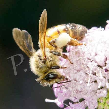 Bild: eine Honigbiene, Apis mellifera, an der Tauben-Skabiose