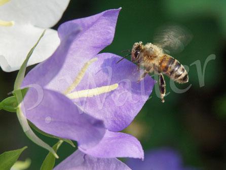 Bild: Honigbiene, Apis spec., Anflug zu einer Blüte, Pfirsichblättrige Glockenblume