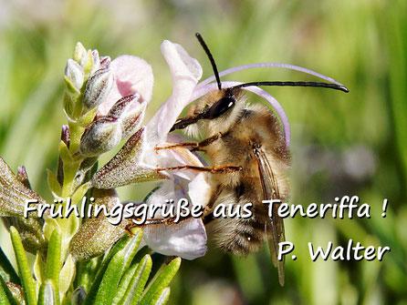 Märzurlaub auf Teneriffa : Langhornbiene am Rosmarin