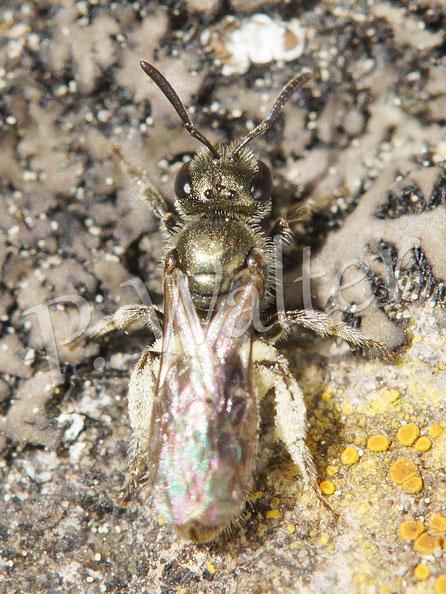 Bild: Furchenbiene, Halictus spec., Weibchen