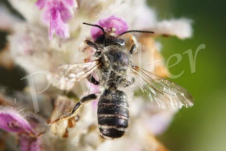 12.07.2014 : Blattschneiderbiene
