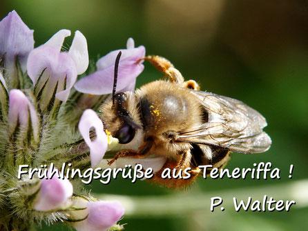 Märzurlaub auf Teneriffa : oder doch eine Seidenbiene ?