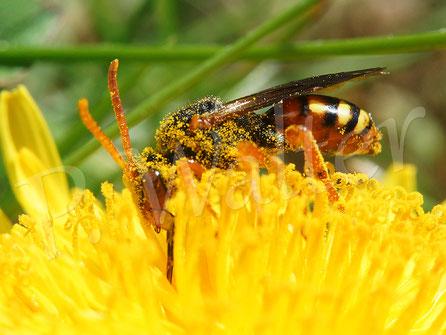 Bild: eine Wespenbiene, Nomada spec. auf einem Löwenzahn