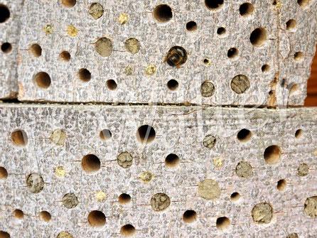 Bild: Bohrlöcher, Hartholz, Nistgänge, Nistverschluss, Rostrote Mauerbiene, Osmia bicornis, Gehörnte Mauerbiene; Osmia cornuta, Lehmverschluss