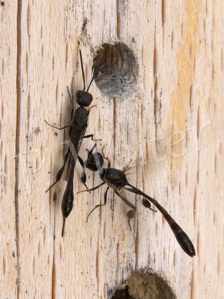 """10.06.2017 : Schmalbauchwespe (aber mit recht kurzem Stachel ?), ein Weibchen wird von einem Männchen """"umgarnt"""""""