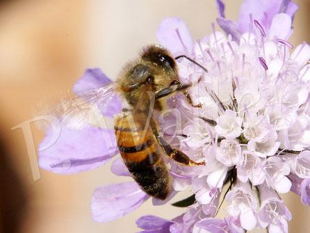 20.08.2017 : Honigbiene an der Skabiose