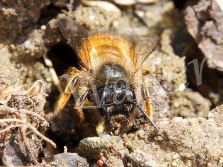 06.05.2017 : Weibchen der Rostroten Mauerbiene beim Sammeln von  Erde/Lehm für die Zwischenwände ...