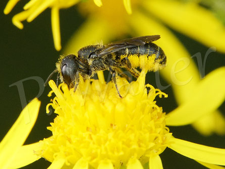 Bild: Löcherbiene, Osmia truncorum, Männchen, auf einer Margeritenblüte