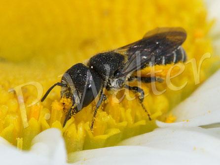 Bild: Löcherbienenweibchen an der Margerite